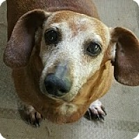 Dachshund Dog for adoption in Houston, Texas - Dexter Dugout