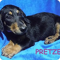 Adopt A Pet :: Pretzel - Batesville, AR