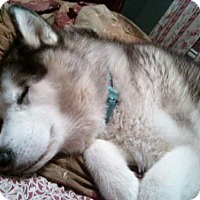Adopt A Pet :: Lobo - Bristol, VA