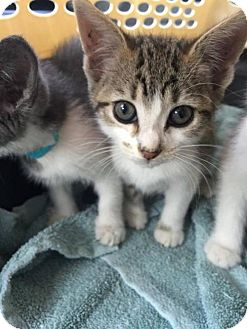 Domestic Shorthair Kitten for adoption in Woodbury, New Jersey - Graham Crackers