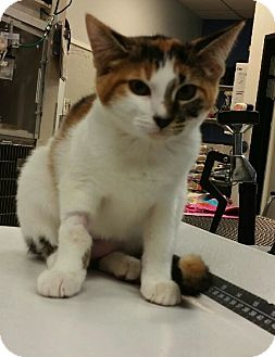 Domestic Shorthair Kitten for adoption in Sherman Oaks, California - Eleven aka El