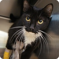 Domestic Shorthair Cat for adoption in Herndon, Virginia - Kuzu