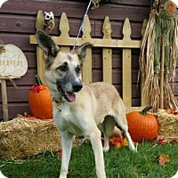 German Shepherd Dog/Australian Shepherd Mix Dog for adoption in Ashtabula, Ohio - Junior