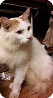 Turkish Van Cat for adoption in Atlanta, Georgia - Sampson