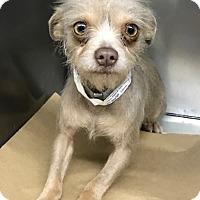 Adopt A Pet :: Zeylah - Los Alamitos, CA
