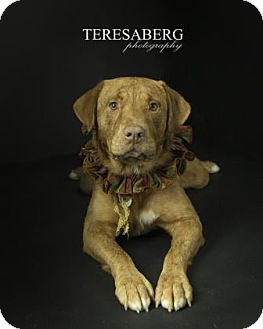Labrador Retriever/Shar Pei Mix Dog for adoption in Dallas, Texas - Woodford
