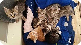 Domestic Shorthair Kitten for adoption in Coopersburg, Pennsylvania - Rose