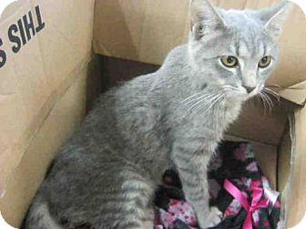 Domestic Mediumhair Cat for adoption in San Antonio, Texas - A406593