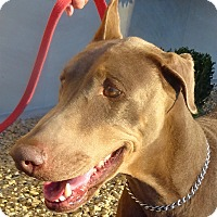 Adopt A Pet :: Rebecca - Las Vegas, NV