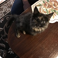 Domestic Longhair Kitten for adoption in millville, New Jersey - tuesday