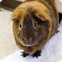 Adopt A Pet :: Jesse Bee pp/ Artamis - Ann Arbor, MI