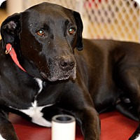 Labrador Retriever/American Bulldog Mix Dog for adoption in Indianapolis, Indiana - Dmitri