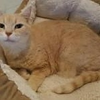 Domestic Shorthair Cat for adoption in Raritan, New Jersey - Apricot sisters