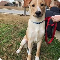 Adopt A Pet :: Jordy - Austin, TX