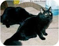 Domestic Longhair Cat for adoption in Stafford, Virginia - Churchill