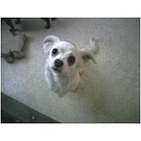 Adopt A Pet :: Lambchop - Everett, WA