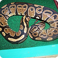 Adopt A Pet :: Isis - a ball python - Bristow, VA