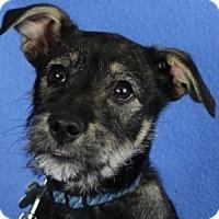 Adopt A Pet :: Darcy - Minneapolis, MN