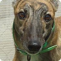 Adopt A Pet :: BJ Bruin - Longwood, FL