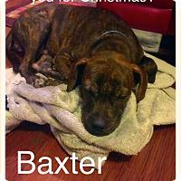 Adopt A Pet :: Baxter - North Richland Hills, TX