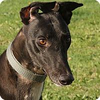 Adopt A Pet :: Rene - Portland, OR