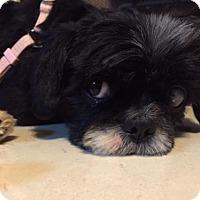 Adopt A Pet :: Ollie - Springfield, VA