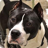 Adopt A Pet :: Miles Davis - Troy, MI
