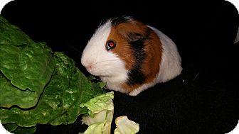 Guinea Pig for adoption in Aurora, Colorado - Chicago