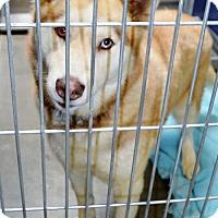 Adopt A Pet :: Husky fem - San Jacinto, CA