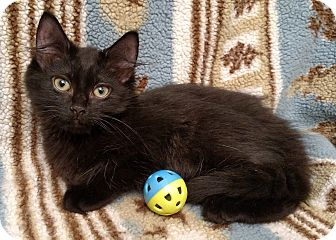 Domestic Shorthair Kitten for adoption in Gainesville, Virginia - Calvin