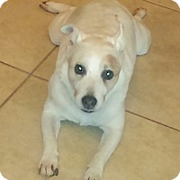 Jack Russell Terrier Dog for adoption in Houston, Texas - Carmelo in Houston