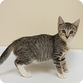 Domestic Shorthair Kitten for adoption in Long Beach, New York - Maggie