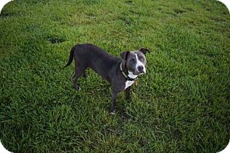American Pit Bull Terrier Dog for adoption in Mobile, Alabama - Tina