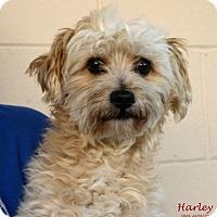 Adopt A Pet :: Harley - Santa Maria, CA