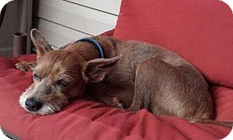 Terrier (Unknown Type, Medium) Mix Dog for adoption in Southbury, Connecticut - Nelson