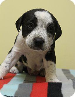 Labrador Retriever Mix Dog for adoption in Waldorf, Maryland - Peter