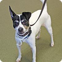 Adopt A Pet :: Napoleon Dynamite - Harrisonburg, VA