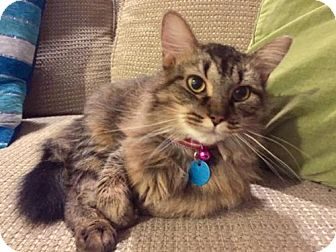 Maine Coon Cat for adoption in Washington, D.C. - Hannah (Has Application)