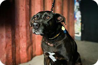 Labrador Retriever Mix Dog for adoption in Brooklyn, New York - Charlize Theron
