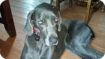 Weimaraner Dog for adoption in Attica, New York - Boomer
