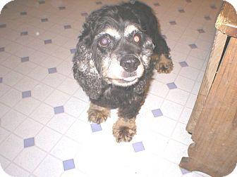 Cocker Spaniel Dog for adoption in Kannapolis, North Carolina - Cupcake  -Adopted!/Memorial