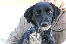 Spaniel (Unknown Type) Mix Dog for adoption in Russellville, Kentucky - Piper