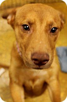 Vizsla/Labrador Retriever Mix Puppy for adoption in Silsbee, Texas - Bianca