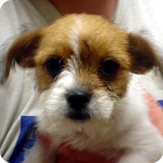 Terrier (Unknown Type, Small)/Terrier (Unknown Type, Small) Mix Puppy for adoption in baltimore, Maryland - Cindy