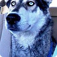 Adopt A Pet :: Nanook - Gilbert, AZ