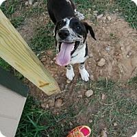 Adopt A Pet :: Pongo - Georgetow, TX