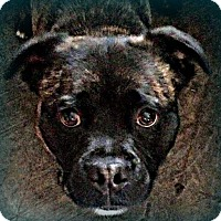 Pug/Shepherd (Unknown Type) Mix Dog for adoption in marine, Michigan - Sheldon