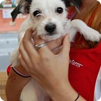Adopt A Pet :: Shirley - West Los Angeles, CA
