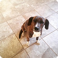 Adopt A Pet :: Daphne - Byhalia, MS