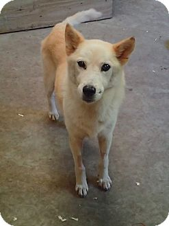 Carolina Dog/Shepherd (Unknown Type) Mix Dog for adoption in Ravenel, South Carolina - Heidi
